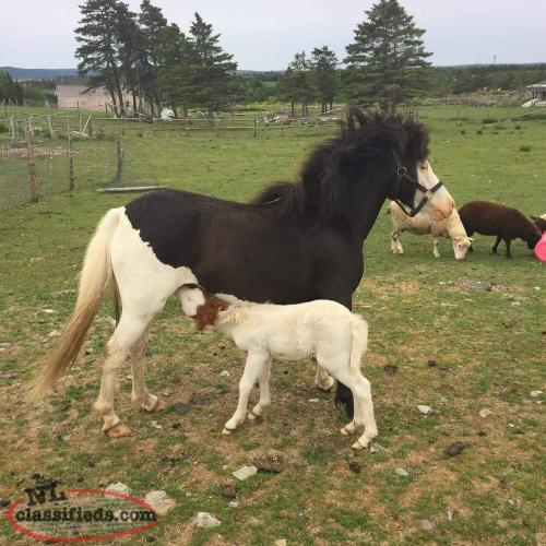 Mini Mare with colt foal