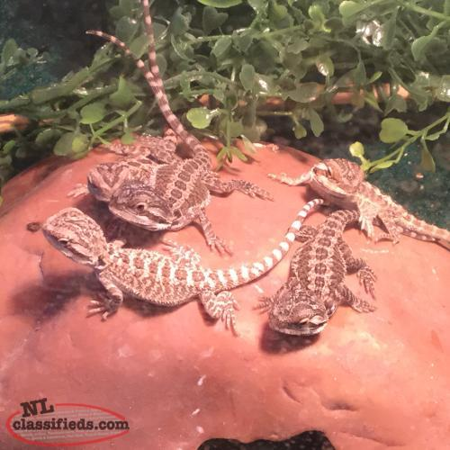 12 Baby bearded dragons ready to go