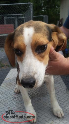 "CKC reg 15 "" male beagle"