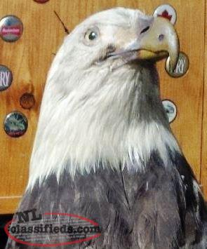 Stuffed bald eagle- still available