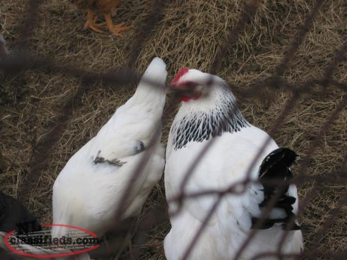 sell one pullet