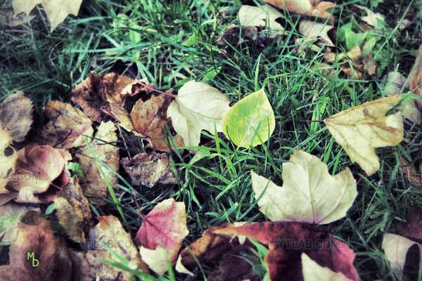 Fall's leafs