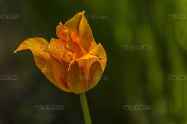 Tulipe02