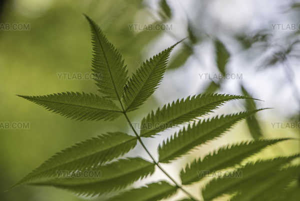 Sorbifolia