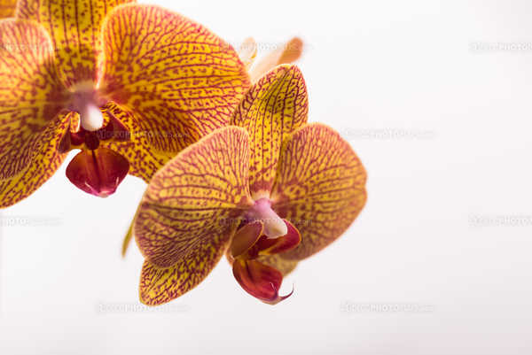 Veined Orchid