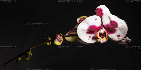 Stained Orchid
