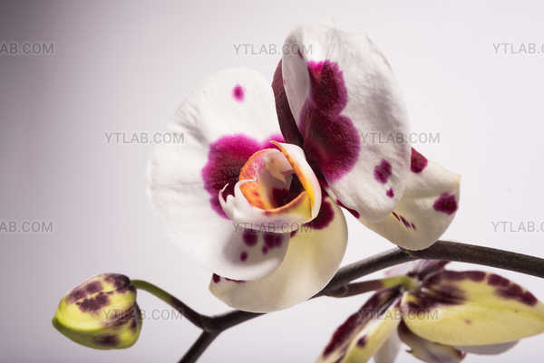 Stained Orchid 2