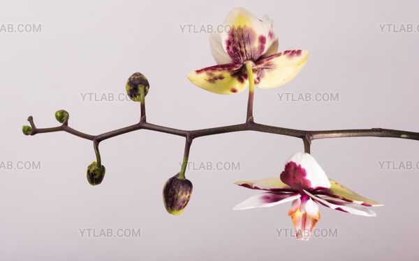 Orchid floral stem