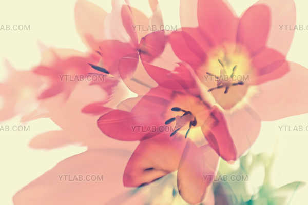 Tulips#3