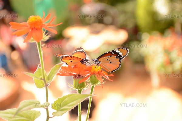 Butterflies dance