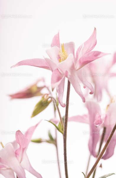 Pink blossom of a columbine flower