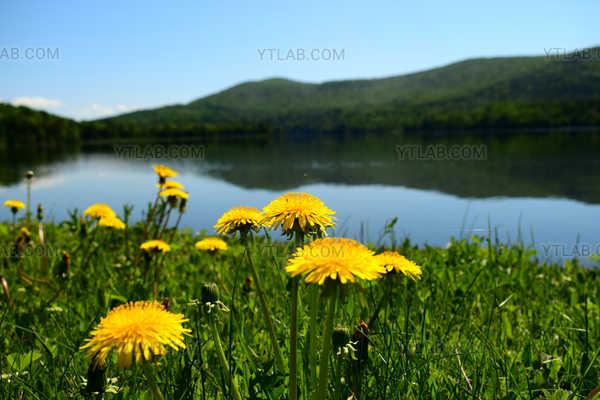 Le lac et les pissenlits