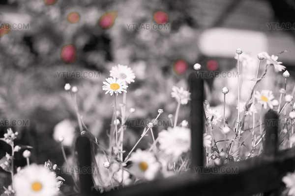 Sur le Plateau - La Vie en Rose - 07 (série de 11 clichés)