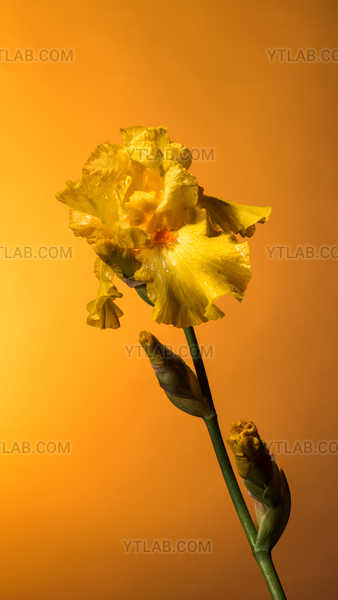 Yellow iris on gold