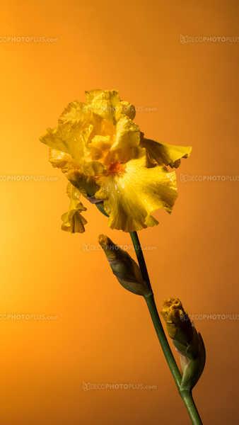 Yellow iris on gold