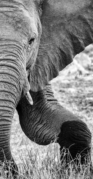 Éléphant - Un portrait