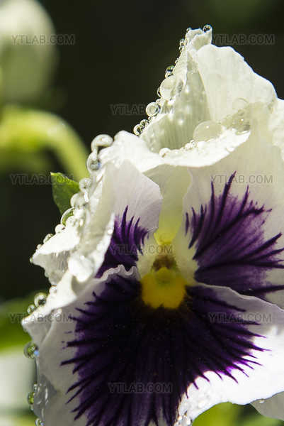 Raindrops on a white pansy