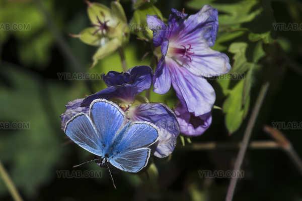 Papillon Bleu sur Flur mauve