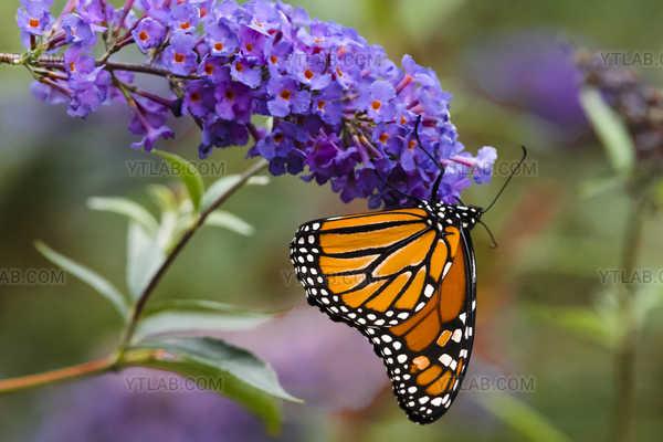 Monarque sur fleur Mauve