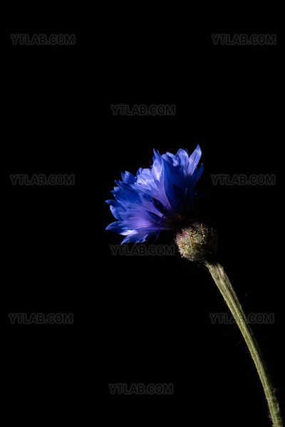 Cornflower, a wild blue flower