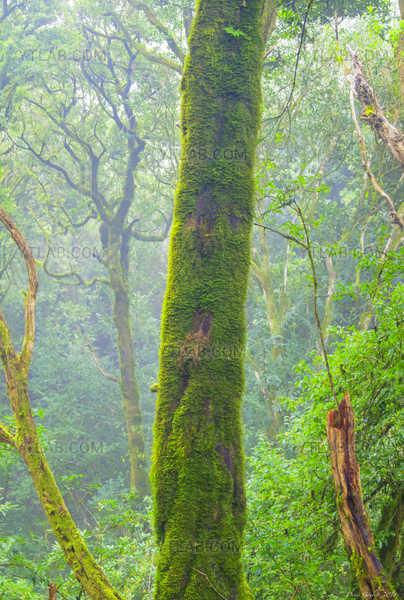 Forêt Laurifère