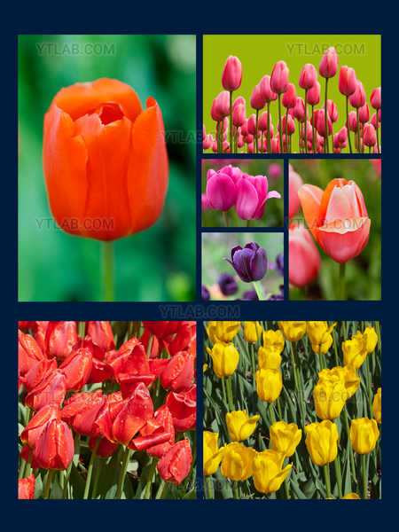 Tulips from the Montreal Botanical Garden