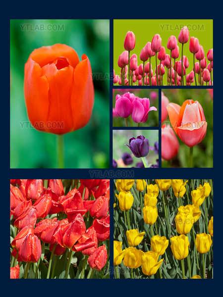 Les tulipes du Jardin botanique de Montréal