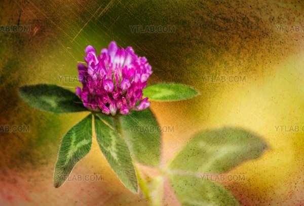 Fleur de trèfle rose