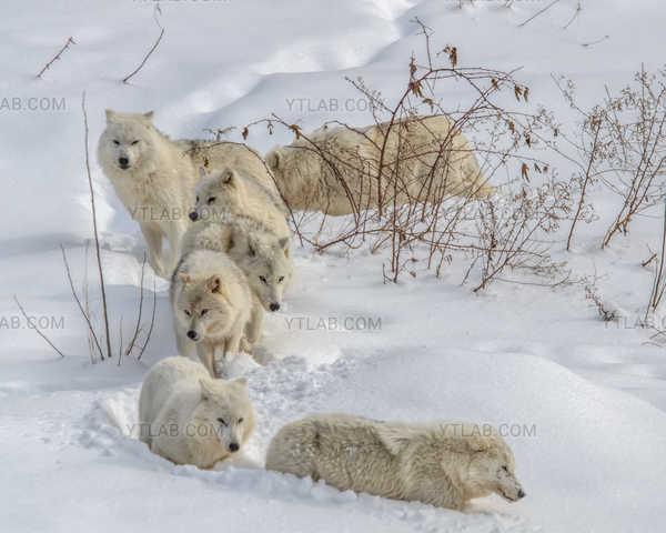 Loups de l'artique