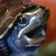 21683_turtle1