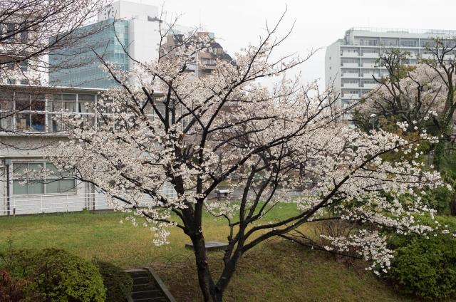 cherryblossoms_harajuku_blotto_8159_1.jpg