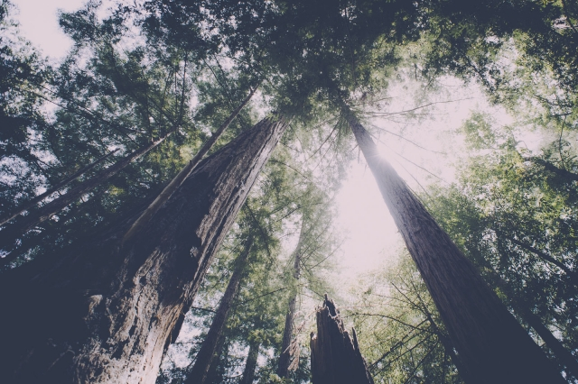 treesupward_pfeifferbigsur_blotto_8649_1.jpg