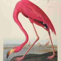 John James Audubon, American Flamingo, #87, Overall: 40 1/2 x 27 1/2 x 1 1/4 in. (102.9 x 69.9 x 3.2 cm), Courtesy of  Art in Embassies, Washington, D.C.