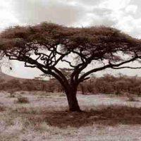 John H. Brown Jr., Serengeti Tree #11, The framed dimension is 20 3/4