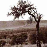 John H. Brown Jr., Serengeti Tree #4, The framed dimension is 20 3/4