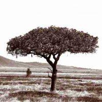 John H. Brown Jr., Serengeti Tree #3, The framed dimension is 20 3/4