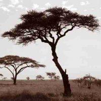 John H. Brown Jr., Serengeti Tree #2, The framed dimension is 20 3/4