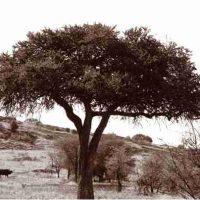 John H. Brown Jr., Serengeti Tree #8, The framed dimension is 20 3/4
