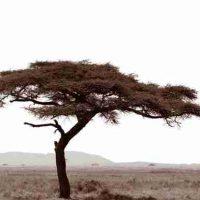 John H. Brown Jr., Serengeti Tree #7, The framed dimension is 20 3/4