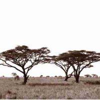 John H. Brown Jr., Serengeti Tree #12, The framed dimension is 20 3/4
