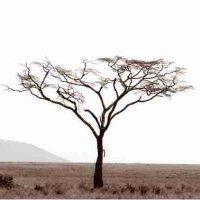 John H. Brown Jr., Serengeti Tree #10, The framed dimension is 20 3/4