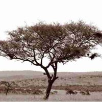 John H. Brown Jr., Serengeti Tree #5, The framed dimension is 20 3/4