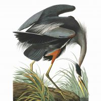 John James Audubon, Great Blue Heron, Plate 211, Digital print on cold press paper, Other: 42 × 35 1/4in. (106.7 × 89.5cm), Collection of Art in Embassies, Washington, D.C.; Great Blue Heron Plate 211. Courtesy of the John James Audubon Center at Mill Grove in Audubon, Pennsylvania, and the Montgomery County Audubon Collection
