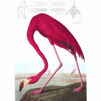 John James Audubon, American Flamingo, Plate 431, 2019, digital print on cold press paper, Overall: 42 × 35 1/4in. (106.7 × 89.5cm), Collection of Art in Embassies, Washington, D.C.; American Flamingo, Plate 431.Courtesy of the John James Audubon Center at Mill Grove in Audubon, Pennsylvania, and the Montgomery County Audubon Collection