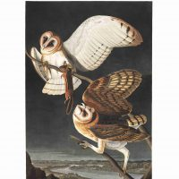 John James Audubon, Barn Owl, Plate 171, 2019, digital print on cold press paper, Overall: 42 × 35 1/4in. (106.7 × 89.5cm), Collection of Art in Embassies, Washington, D.C.;Barn Owl, Plate 171.Courtesy of the John James Audubon Center at Mill Grove in Audubon, Pennsylvania, and the Montgomery County Audubon Collection.