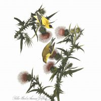 John James Audubon, Yellow Goldfinch, Plate 33, digital print on cold press paper, Other: 42 × 35 1/4in. (106.7 × 89.5cm), Collection of Art in Embassies, Washington, D.C.;Yellow Goldfinch, Plate 33.Courtesy of the John James Audubon Center at Mill Grove in Audubon, Pennsylvania, and the Montgomery County Audubon Collection.