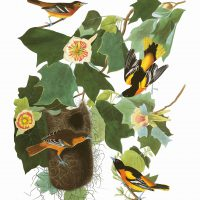 John James Audubon, Baltimore Oriole, Plate 12, Digital print on cold press paper, Other: 42 × 35 1/4in. (106.7 × 89.5cm), Collection of Art in Embassies, Washington, D.C.; Baltimore Oriole Plate 12. Courtesy of the John James Audubon Center at Mill Grove in Audubon, Pennsylvania, and the Montgomery County Audubon Collection