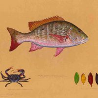James Prosek, Mutton Snapper, Watercolor, gouache, graphite and colored pencil on tea-stained paper, Overall: 31 × 37in. (78.7 × 94cm), Courtesy of the artist, Easton, Connecticut
