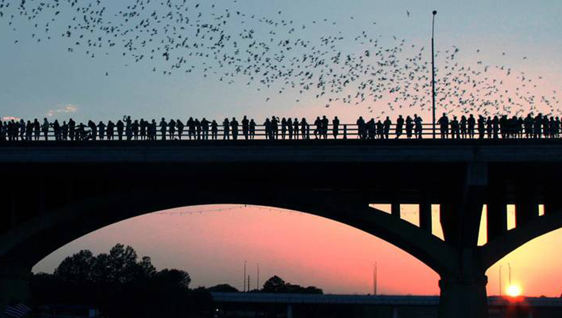 Bats flying over a bridge at sunset in Austin, Texas.
