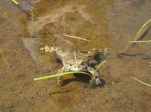 Wildlife council boreal toad sciox Image collections